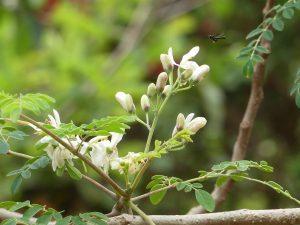 Květy moringy olejodárné