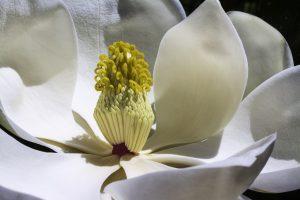 Vůně pro královny: magnolie pro vnitřní rozkvět a inspiraci